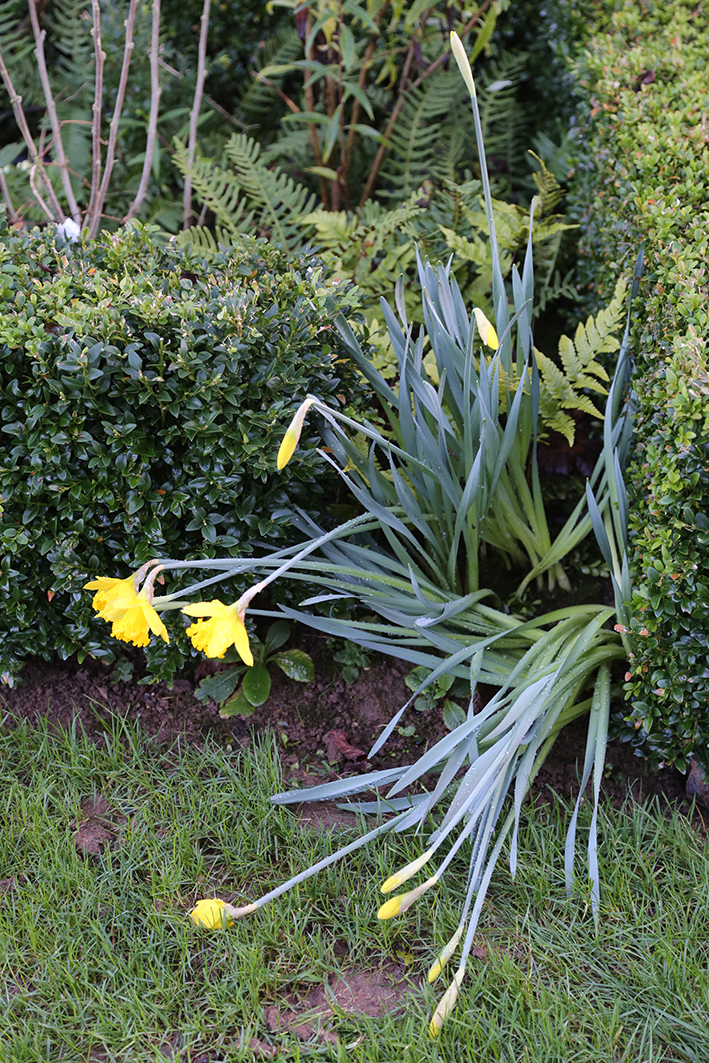 Daffs in Jan