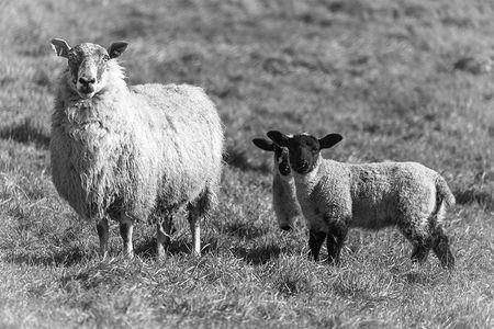 Easter Lamb.